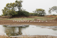 A small flock of flamingos wandering near the bank of a small water body.