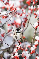 01299-031.02 Carolina Chickadee (Poecile carolinensis) in Common Winterberry (Ilex verticillata) in winter, Marion Co. IL