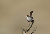 598030016 a wild bewick's wren thryomanes bewickii  perched on a twig in kern county california united states