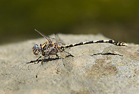 389030017 a wild male gray sanddragon dragonfly progomphus borealis perches on a rock along piru creek at frenchmans flat los angeles county california