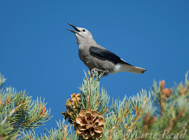 Clarks' Nutcracker (Nucifraga columbiana), perched on PInyon Pine, calling, Mono Lake Basin, California, USA