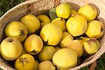 Close up wicker basket of fresh quince fruit on grass lawn, UK
