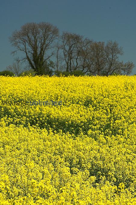 Field of Canola / Oilseed Rape out in full bloom