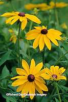 """63821-06114 Black-eyed Susan (Rudbeckia hirta """"Indian Summer"""")"""