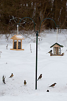 Grünfink, Bergfink, Blaumeise, Vögel an der Vogelfütterung, Fütterung im Winter bei Schnee, im mit Körnern gefüllten Futterhäuschen, Vogelhäuschen, Futterhaus, Vogelhaus, Winterfütterung, Futtersilo, Körner am Boden