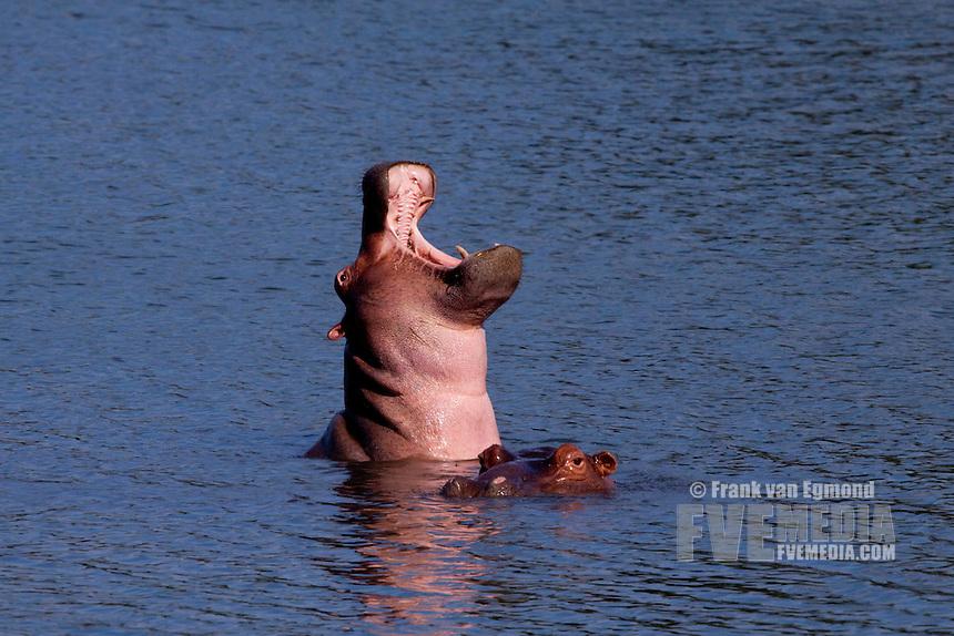 Hippo yawning display (Hippopotamus Amphibius)..Nyamithi pan..May, Winter 2009..Ndumo Game Reserve, Kwazulu-Natal, South Africa.