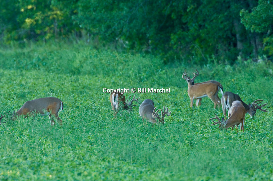 00274-332.15 White-tailed Deer Buck group with antlers in velvet is feeding in soybean plot during late summer. Hunt, scout, field.  H2E1