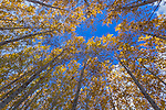 Morrow County, OR<br /> Blue sky viewed from beneath a hybrid poplar forest canopy yellow with fall color, commercial tree farm