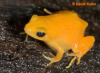 1102-07pp  Mantella aurantiaca - Golden Mantilla - © David Kuhn/Dwight Kuhn Photography