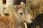 Bighorn Sheep, Lamb, Close Portrait, Gardner Canyon, North Entrance, Yellowstone National Park, Wyoming