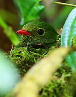 Female green-and-black fruiteater on nest