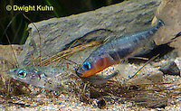 1S57-506z  Threespine Stickleback, gravid female inside male's nest, male prods near her tail fin to stimulate egg laying, Gasterosteus aculeatus