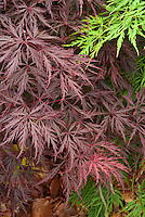 Acer palmatum 'Red Dragon' Japanese maple tree in red color in spring