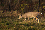 White-tailed buck looking for does during the rut in northern Wisconsin.