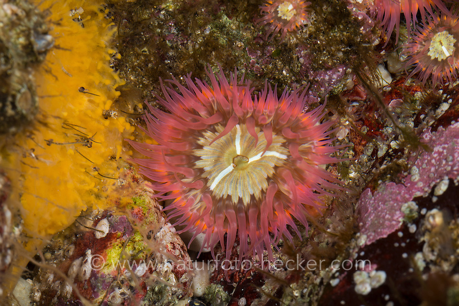 Tangrose, Sagartia elegans, Sagartia elegans var. rosea, Actinia elegans, elegant anemone, sagartie de vase, Seeanemone, Seeanemonen, anemone, Blumentier, Blumentiere, Anthozoa, anemones, sea anemones, sea anemone