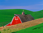 Whitman County, WA        <br /> Green hills of the Palouse Country swallow a gambrell roofed red barn and cupola