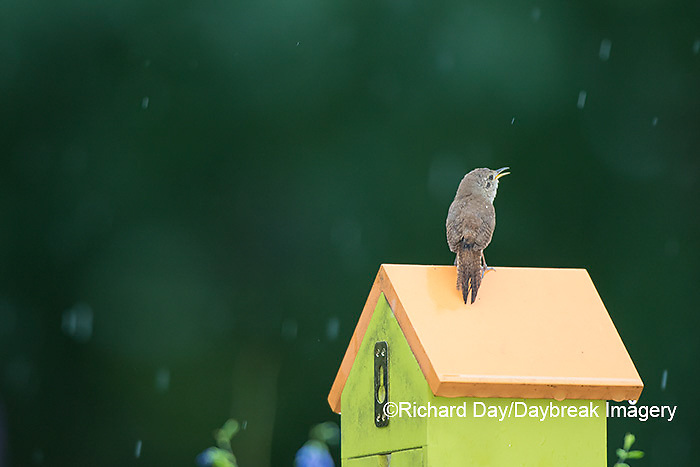 01324-01413 House Wren (Troglodytes aedon) male singing in the rain on nest box. Marion Co., IL