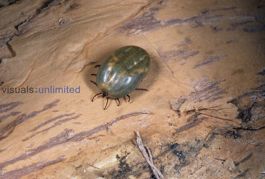 Engorged adult female Rocky Mountain wood tick, Dermacentor andersoni, the primary vector of Rocky Mountain spotted fever. This species also causes tick paralysis and can transmit tularemia, Colorado tick fever, and Q fever.