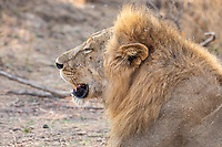africa, Zambia, South Luangwa National Park, lion approach the river shore to drink