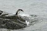 Gentoo Penguin entering the water of Neumayer Channel, Antarctica.