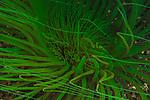 Green Burrowing Anemone, Indonesia, Lembeh, Lembeh Straits, Underwater macro marine life images, underwater marine life