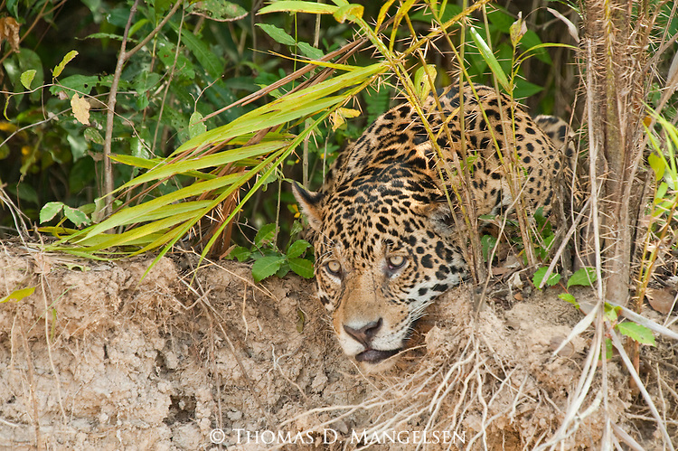 A jaguar rests on the bank of the Picuiri River at the edge of the jungle in the Pantanal of Brazil.