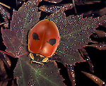 Two-spotted lady beetle, Chilocoros stigma Predatory Lady bug beetles