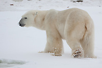Polar Bear walking through the snow