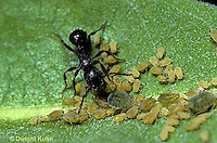 1A29-007z  Aphid - being milked by ant for honey dew  on milkweed plant, parasitism