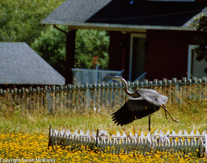 A Great Blue Heron takes off from a small cemetary in the town of Cleone near Fort Bragg in Mendocino County in Northern California.