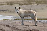 Gray wolf, Togiak National Wildlife Refuge, Alaska
