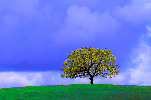 AN OAK TREE STANDS ALONE IN A PASTURE IN RURAL CALIFORNIA IN EXAGGERATED COLOR