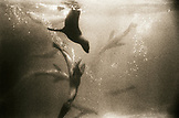 MEXICO, Baja, sea lions swimming, underwater view, San Benitos Islands (B&W)