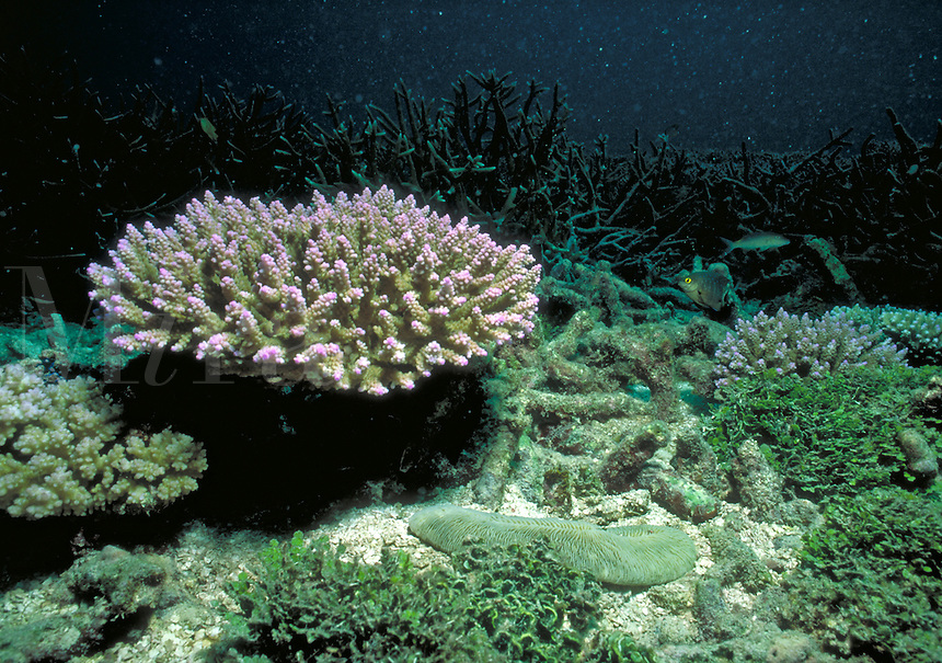 Underwater reef scene - A colony of branching corals, Acropora sp. Seychelles Islands, Seychelles Western Indian Ocean.