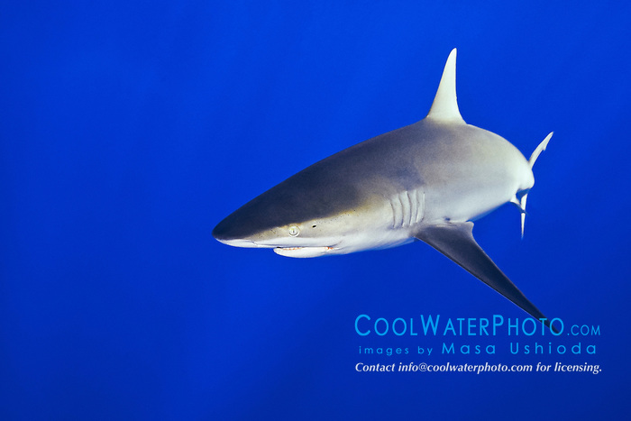 Galapagos shark, Carcharhinus galapagensis, offshore, North Shore, Oahu, Hawaii, USA, Pacific Ocean