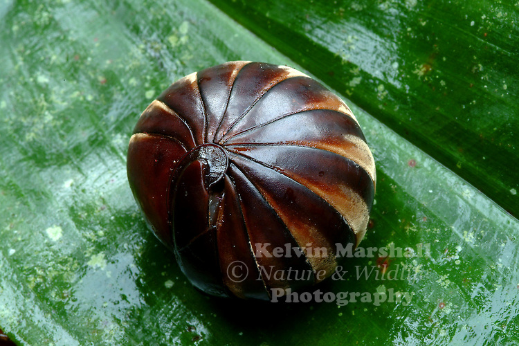 """Pill millipedes make up two orders of millipedes, often grouped together into a single superorder, Oniscomorpha. The name Oniscomorpha refers to the resemblance of pill millipedes to certain woodlice, namely the pillbugs of the family Armadillidiidae, also called """"potato bugs"""", """"doodlebugs"""", or """"roly-polies"""". However, they are only distantly related."""