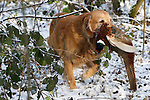Pix: Shaun Flannery/shaunflanneryphotography.com...COPYRIGHT PICTURE>>SHAUN FLANNERY>01302-570814>>07778315553>>..19th December 2009................Brodsworth Shoot.A Golden Retriever with Pheasant.