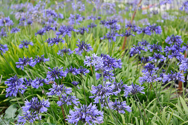 Agapanthus Super Star