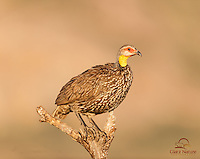 Yellow-necked Spurfowl (Francolinus leucoscepus) greets the sunrise, Samburu