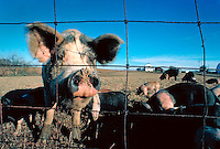 Mother pig sticking her snout through fence with piglets behind.