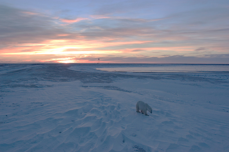 Photo: 20264..Canadas polar bear country around Churchill, Manitoba, at Gordon Point and nearby at Cape Churchill in Wapusk National Park on the south edge of Hudson Bay.  Photos of polar bears males, females, and cubs.  Fauna includes polar bears, arctic hares, and arctic foxes.  Landscapes of the tundra terrain and ice forming on Hudson Bay, plus sunrises and sunsets.  Polar bear viewing in Tundra Buggies while staying at the Tundra Buggy Lodge, operated by Frontiers North.  Photo copyright Lee Foster, 510-549-2202, lee@fostertravel.com, www.fostertravel.com.
