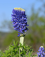 Large bluebonnet flower, Kingsland, TX