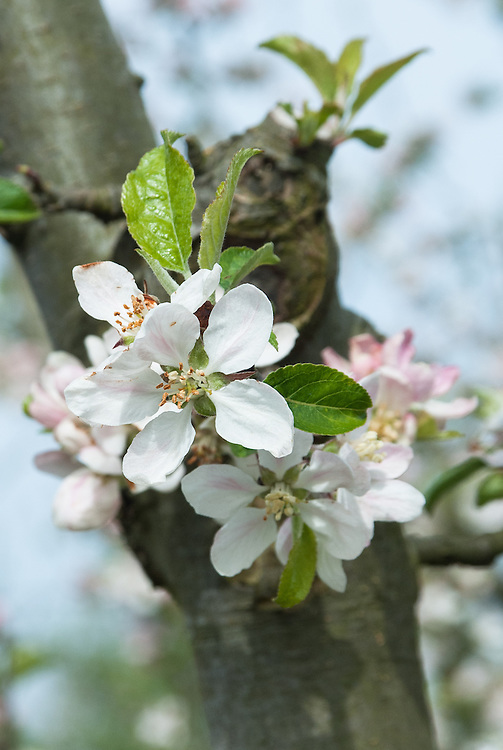 Blossom of Apple 'Calville Malingre', early May. A French culinary apple of uncertain origin.