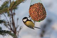 Kohlmeise an der Vogelfütterung, Fütterung im Winter bei Schnee, am Nuss-Säckchen, Nusssäckchen, Nuß-Säckchen, Nussäckchen, Erdnüsse, Winterfütterung, Kohl-Meise, Meise, Parus major, great tit