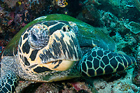 Hawksbill turtle, Eretmochelys imbricata, Komodo National Park, Indonesia, Pacific Ocean