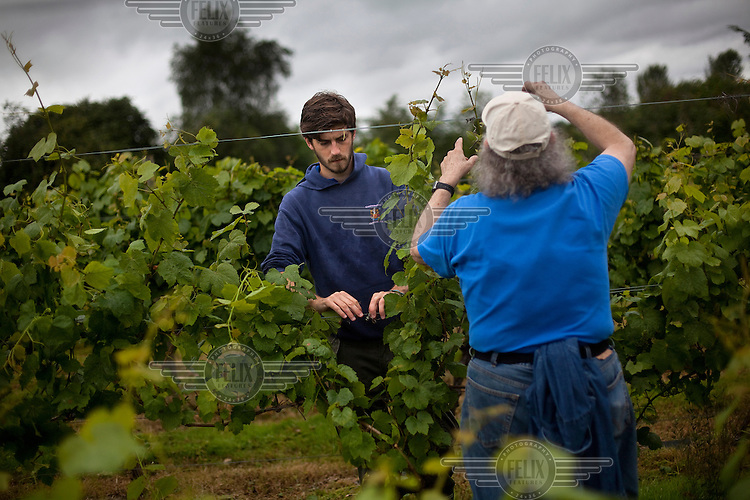 Workers tend the vines at a'Beckett's Vineyard, in Littleton Panell, Wiltshire.