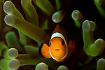 False clown anemonefish, Amphiprion ocellaris, in magnificent anemone, Heteractis magnifica, Puerto Galera, Oriental Mindoro, Pacific Ocean