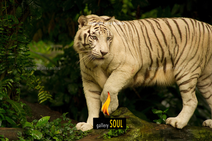 Playful affectionate and serene moods of a white tiger are seen in this series of images