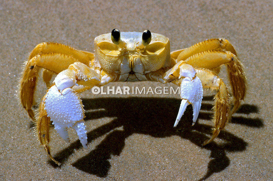 Animais. Crustaceos. Siri Maria-farinha ou espia-maré ( Ocypode albicans). Foto de Sônia Oddi.