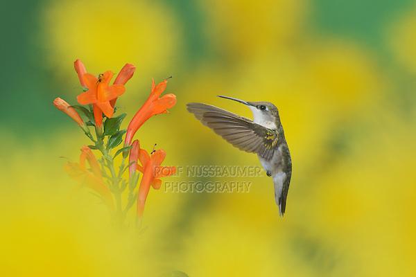 Ruby-throated Hummingbird (Archilochus colubris), female in flight feeding on Cape honeysuckle (Tecoma capensis) flower, Hill Country, Texas, USA